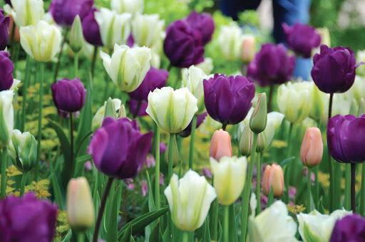 Keukenhof-Lisse-Holland - Lavender-colored tulips in Keukenhof Gardens in Lisse, the Netherlands.