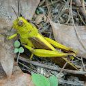 Javanese Grasshopper