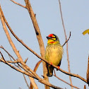Coppersmith Barbet, Crimson-breasted Barbet or Coppersmith