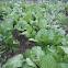 Mustard Greens leaves