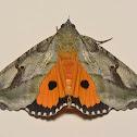 Fruit piercing moth