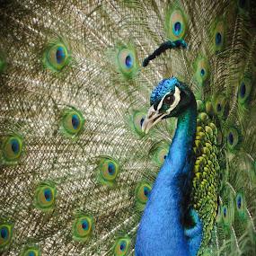 Peacock by Christian Tiboldi - Animals Birds ( bird, nature, colors, beautiful, close up, peacock, portrait,  )