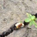 Cicada killer killing cicada