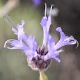 California Native Plant Cultivars