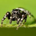 Peppered jumper (male)