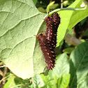 Polydamas Swallowtail caterpillar