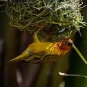 Cape Weaver (male)