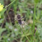 Western Leaf-footed Bug