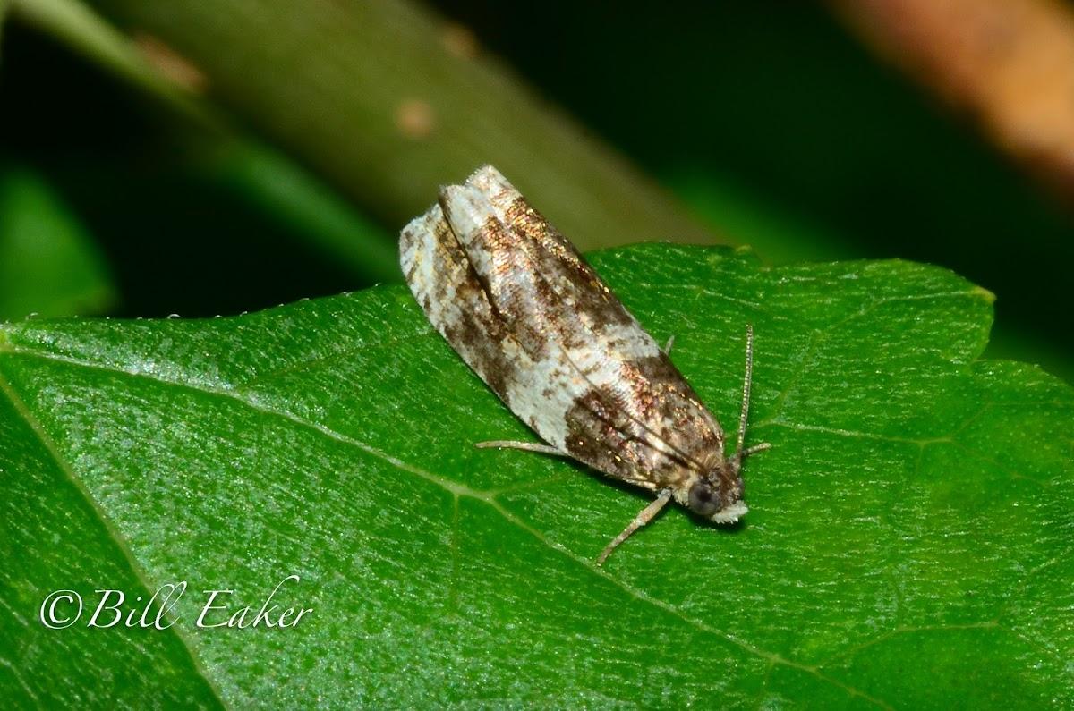 Banded Olethreutes Moth