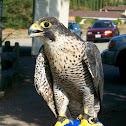 Tundra Perigrine Falcon
