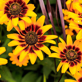 Flowers staring at me.  by Troy Snider - Flowers Flower Gardens ( colorful, color, green, yellow, flowers, garden, black eye susan )