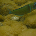Peacock wrasse (male)