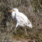 Cattle Egret; Garcilla Beyera