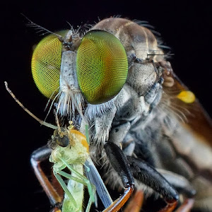 robberfly (12).jpg