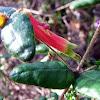 Native Fuscia