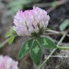 Trifolium pratense subsp. pratense