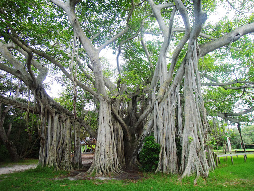 A banyan tree in Birch State Park in Fort Lauderdale.