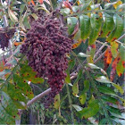 Winged Sumac, shrub or sm tree