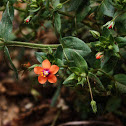 Pimpinela Escarlata / Scarlet Pimpernel