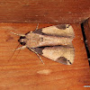 Noctuidae  Erebidae