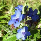 Blue Eranthemum