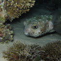 Egelvis, Porcupinefish, Diodon nicthemerus