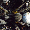 Wolf Spiders (1 with egg sack attached)