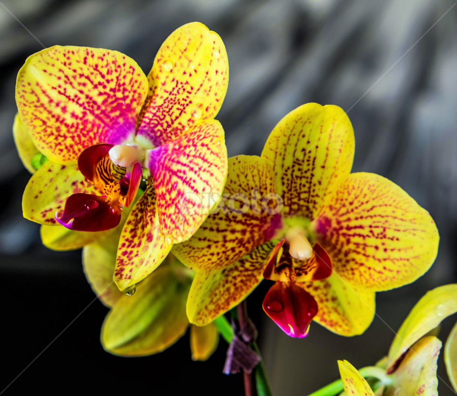 Orchid by Joseph Law - Flowers Flower Gardens ( nature, orchid, upclose, outdoor, garden, ambient )