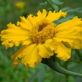 by Nisha Kumari - Flowers Single Flower (  )
