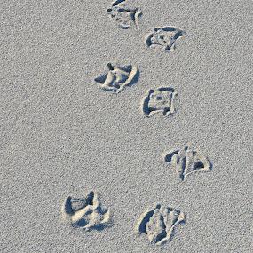 Seagull Footprints by Kathleen Koehlmoos - Nature Up Close Sand ( footprints in the sand, sand, seagull prints, sandy beach, beach footprints, seagull footprints,  )