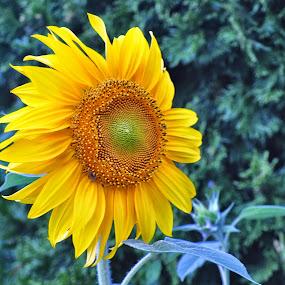 Beautiful & happy Sunflower in my front yard  by Donna Pavlik - Flowers Single Flower ( sunflowers, sunflower, farmland, yellow, nikon d90, farm, nature, single flower, happy, nature up close, flowers, flower, black, fields, happiness, new jersey, 20%, blue, best pixoto, sunset, nikon 55-200, fall, outdoors, sundown, summer, crops, outside,  )