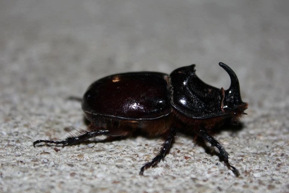 European-rhinoceros-beetle