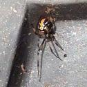 Black Widow (immature)