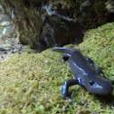 Small-mouth Salamander