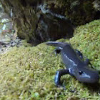 Small-mouth Salamander