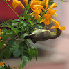Female Purple- Rumped Sunbird