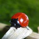 Fungus Bettle