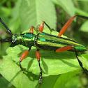 Longhorn/long-horned beetle