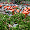 Cinnabar-red Chanterelle