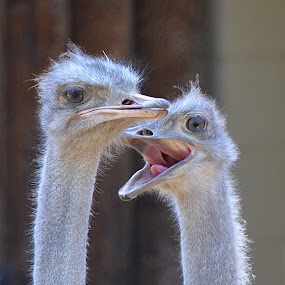 Smile, This Guy's From Pixoto! by Ed Hanson - Animals Birds ( zoo, pair, ostrich, gray, birds )
