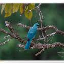 Verditer Flycatcher