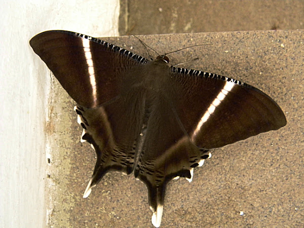 Swallow Tail Moth 104