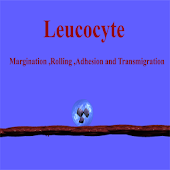 Leucocyte rolling Simulation