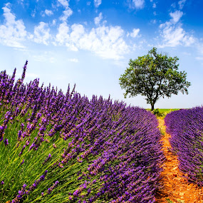 Lavender field, Valensole by Tomas Vocelka - Landscapes Prairies, Meadows & Fields ( smell, field, fragrance, summer, lavender, valensole, rows, lonely tree )