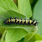 Guatemalan Cracker Butterfly ( caterpillar )