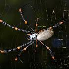 Golden Orb Weaving Spider