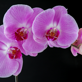 White Pink Orchid  by Anita  Christine - Flowers Flower Gardens ( plant, black bg, isolated, magenta, orchid, nature, pink, phalaenopsis, flower, orchidee, phalaenopsis orchid,  )