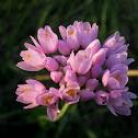 rosy garlic; ajo de culebra