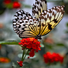 Butterfly by Richard Moyen - Animals Insects & Spiders ( spots, butterfly, red, summer, flower )