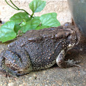 Woodhouses toad